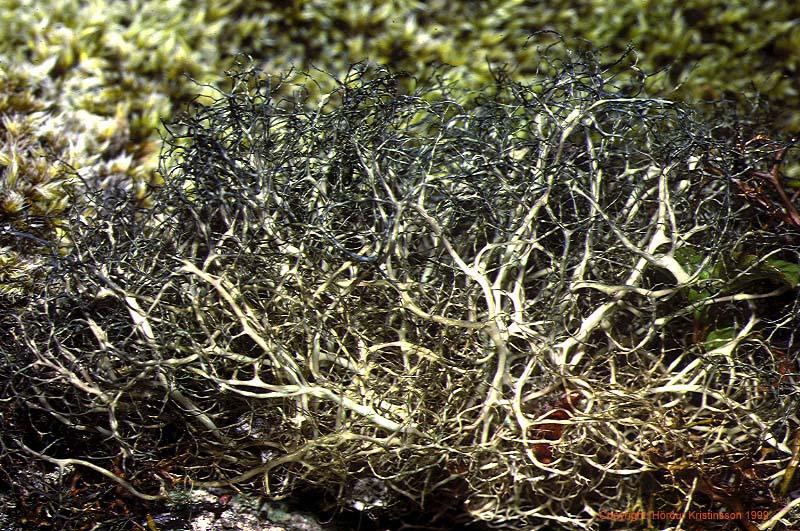 Mynd af Surtarkræða (Alectoria nigricans)