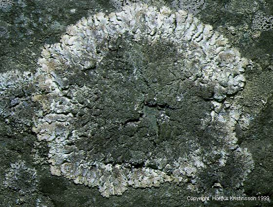 Mynd af Snepaskóf (Parmelia saxatilis)