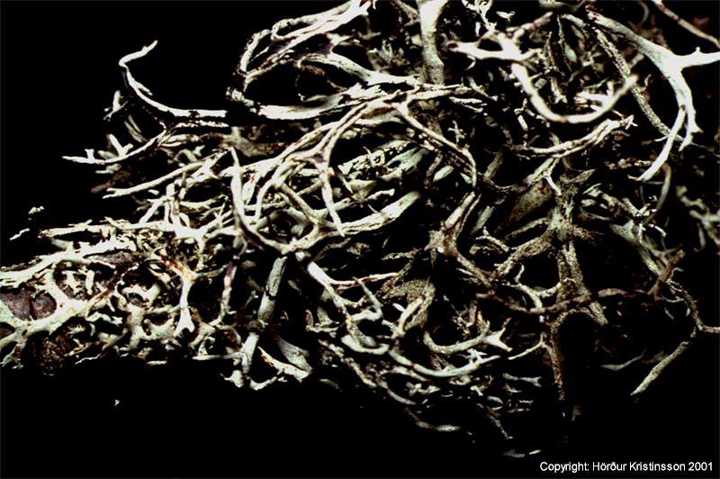 Mynd af Elgshyrna (Pseudevernia furfuracea)