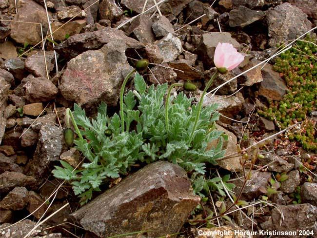 Stefánssól (Papaver radicatum ssp. stefanssonii)