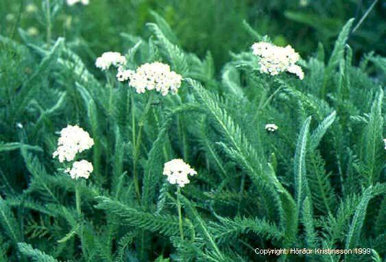Mynd af Vallhumall (Achillea millefolium)