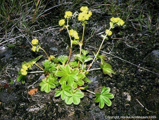 Mynd af Maríuvöttur (Alchemilla faeroensis)