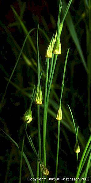 Mynd af Villilaukur (Allium oleraceum)