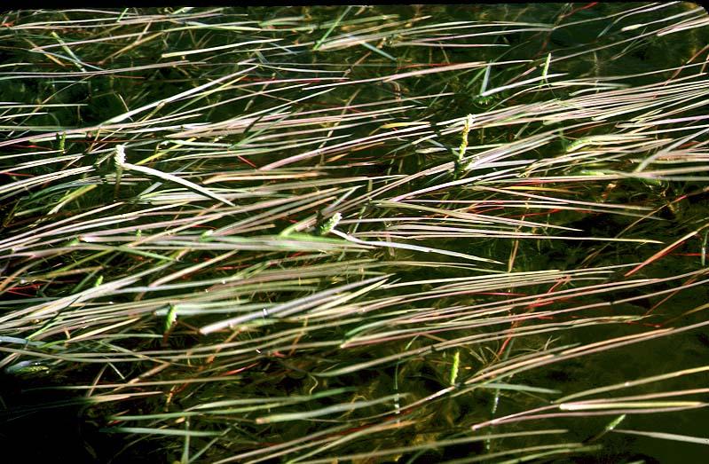 Mynd af Vatnsliðagras (Alopecurus aequalis)