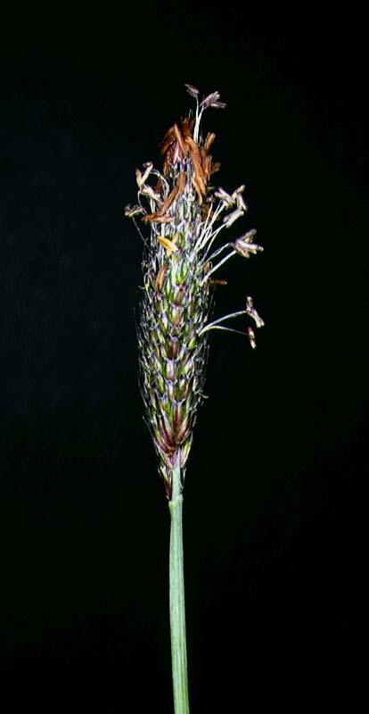 Mynd af Knjáliðagras (Alopecurus geniculatus)