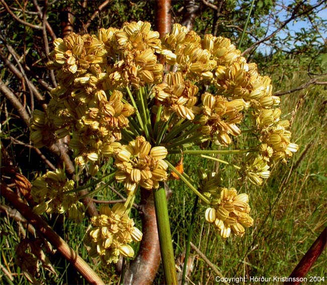 Mynd af Ætihvönn (Angelica archangelica)