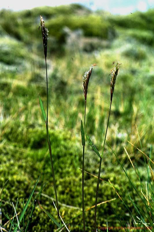 Mynd af Ilmreyr (Anthoxanthum odoratum)
