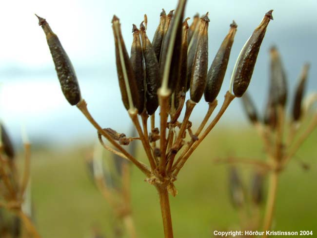 Mynd af Skógarkerfill (Anthriscus sylvestris)