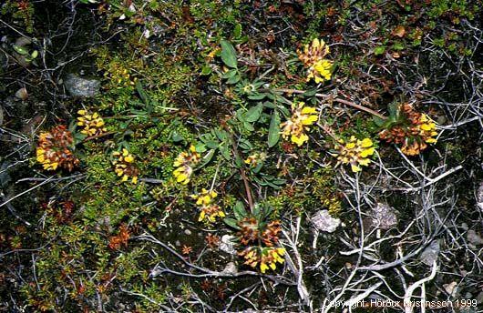 Mynd af Gullkollur (Anthyllis vulneraria)