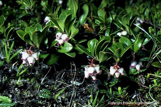 Mynd af Sortulyng (Arctostaphylos uva-ursi)