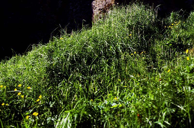 Mynd af Ginhafri (Arrhenatherum elatius)