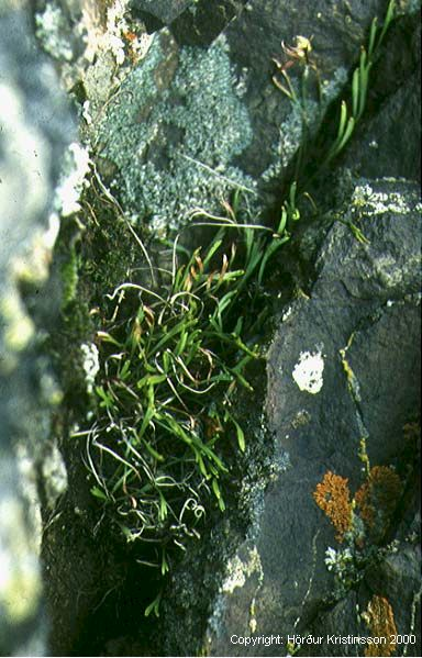 Mynd af Skeggburkni (Asplenium septentrionale)