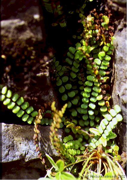 Mynd af Svartburkni (Asplenium trichomanes)