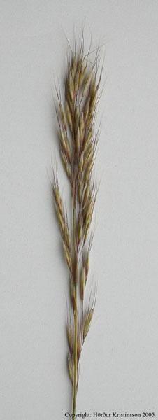 Mynd af Dúnhafri (Avenula pubescens)