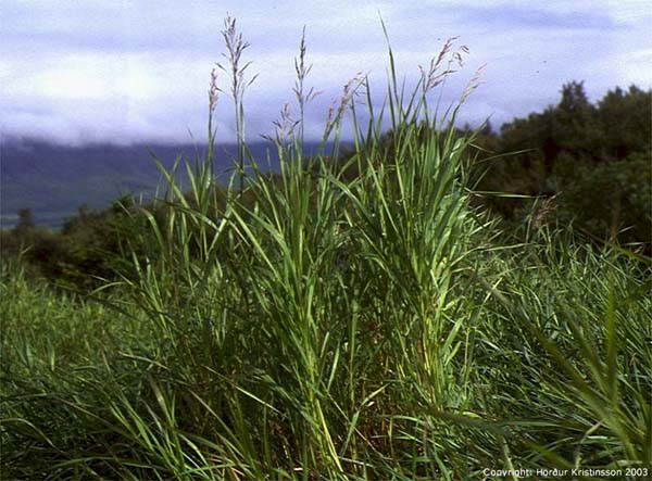 Mynd af Sandfax (Bromopsis  inermis)
