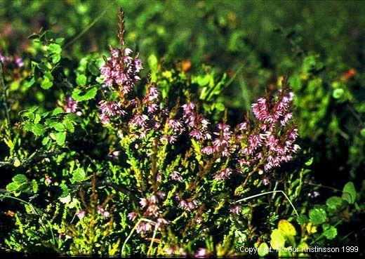 Mynd af Beitilyng (Calluna vulgaris)
