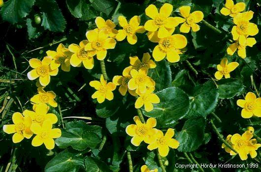 Mynd af Hófsóley (Caltha palustris)