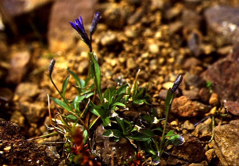 Mynd af Fjallabláklukka (Campanula uniflora)