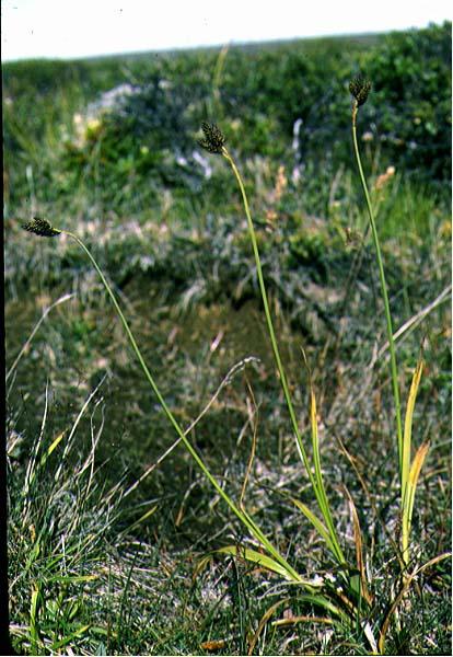 Mynd af Sótstör (Carex atrata)