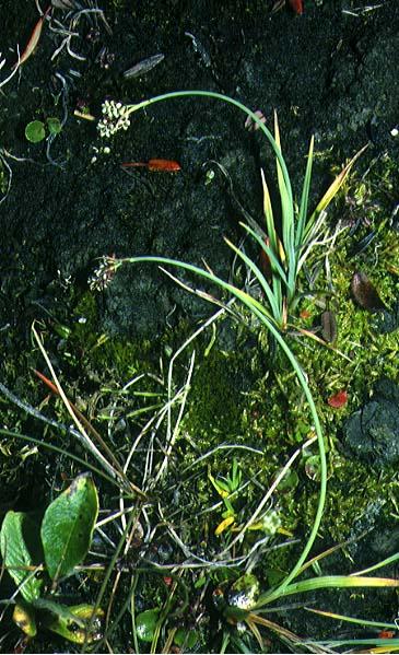 Mynd af Hvítstör (Carex bicolor)
