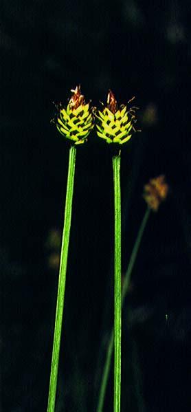 Mynd af Hnappstör (Carex capitata)