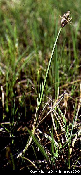Mynd af Vetrarkvíðastör (Carex chordorrhiza)