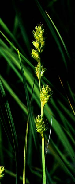 Mynd af Blátoppastör (Carex canescens)