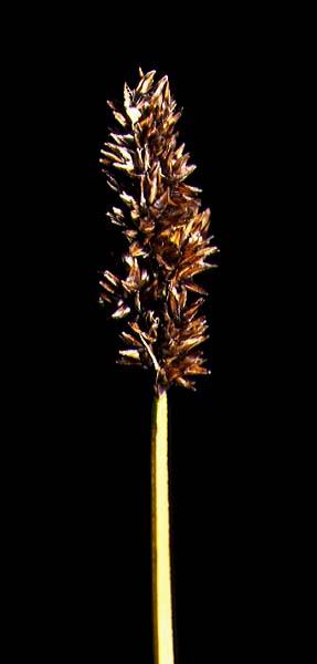 Mynd af Safastör (Carex diandra)