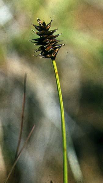 Mynd af Sérbýlisstör (Carex dioica)