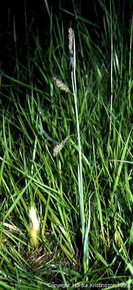 Mynd af Grástör (Carex flacca)