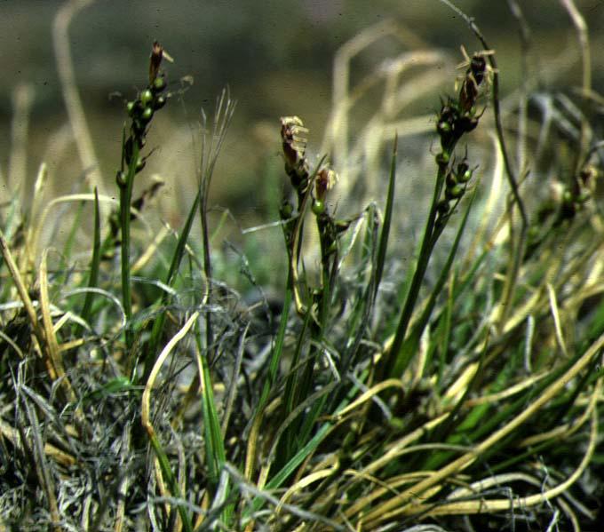 Mynd af Dvergstör (Carex glacialis)