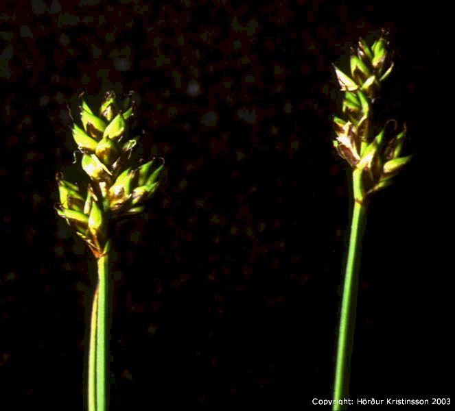 Mynd af Heiðastör (Carex heleonastes)