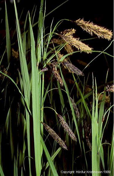 Mynd af Gulstör (Carex lyngbyei)