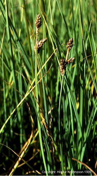 Mynd af Skriðstör (Carex mackenziei)