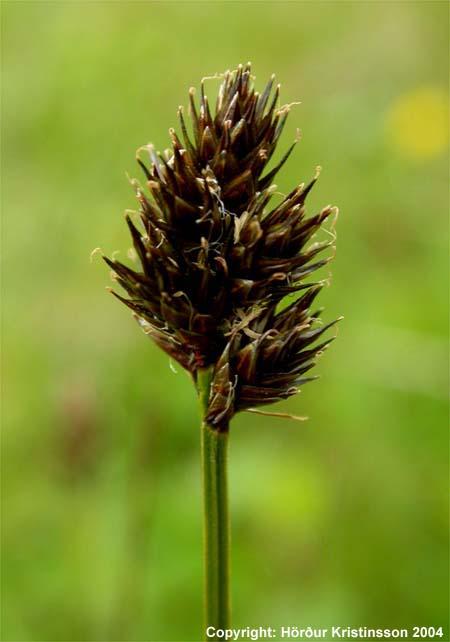 Mynd af Kollstör (Carex macloviana)