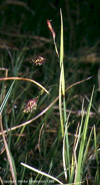 Mynd af Keldustör (Carex paupercula)