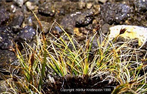 Mynd af Finnungsstör (Carex nardina)