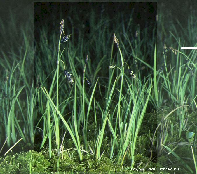 Mynd af Hengistör (Carex rariflora)