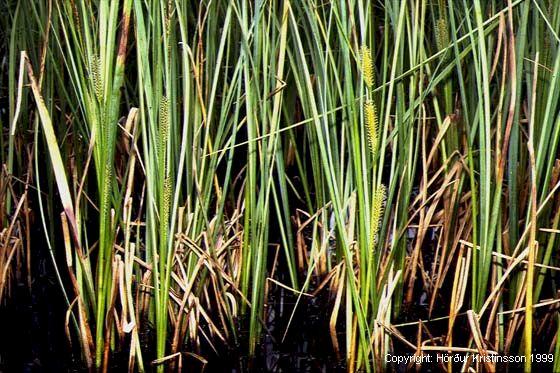 Mynd af Tjarnastör (Carex rostrata)