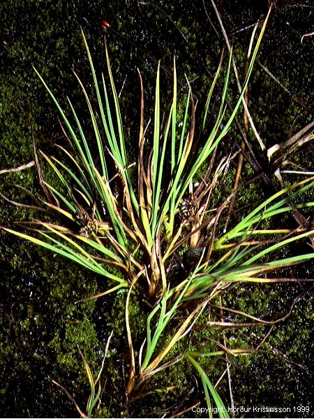 Mynd af Rauðstör (Carex rufina)