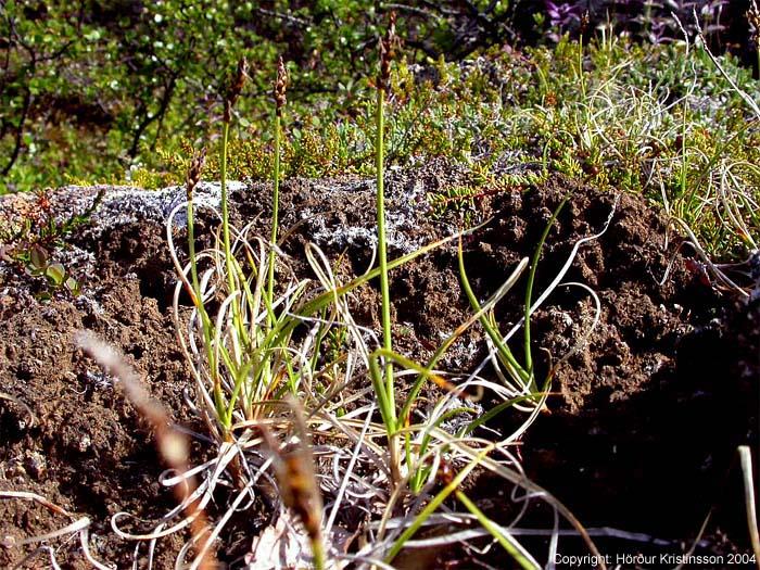 Mynd af Móastör (Carex rupestris)