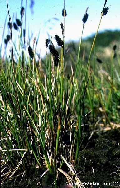 Mynd af Hrafnastör (Carex saxatilis)