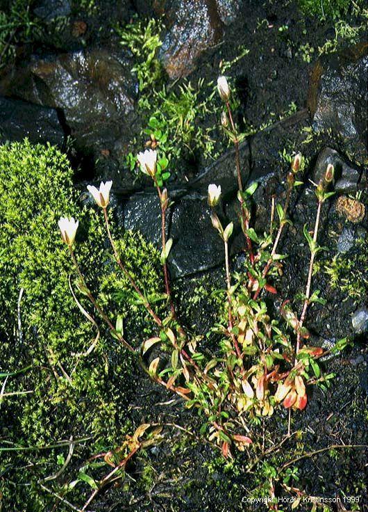 Mynd af Lækjafræhyrna (Cerastium cerastoides)