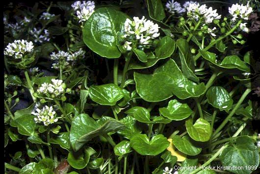 Mynd af Skarfakál (Cochlearia officinalis)