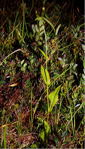 Mynd af Hjartafífill (Crepis paludosa)