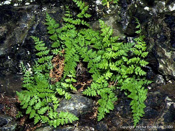 Mynd af Tófugras (Cystopteris fragilis)
