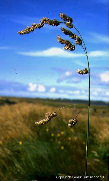 Mynd af Axhnoðapuntur (Dactylis glomerata)