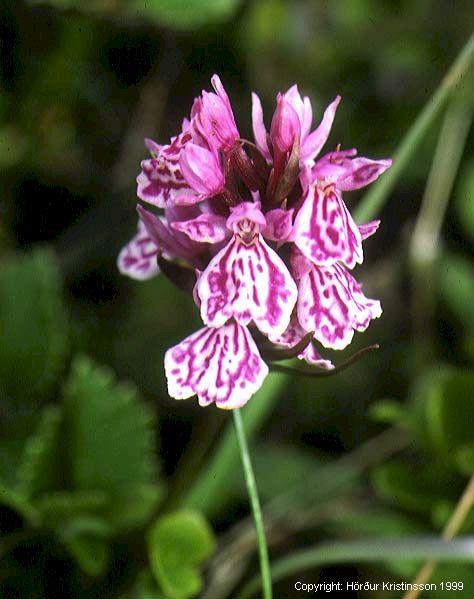 Mynd af Brönugrös (Dactylorhiza maculata)