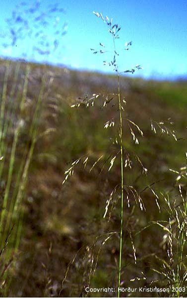 Mynd af Beringspuntur (Deschampsia beringensis)