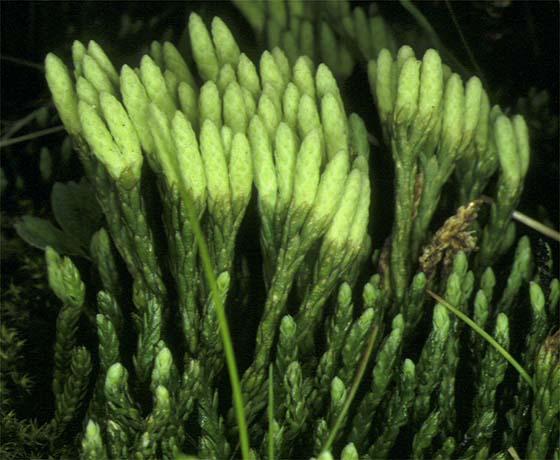 Mynd af Litunarjafni (Diphasiastrum alpinum)